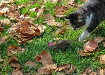 Охота на крысу
